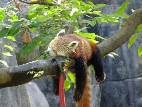 red-panda-chaleur1.jpg